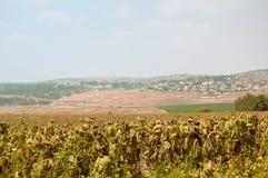 Fields of ripe sunflowers under Ierusaimom  . Israel . Stock Photography