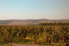 Fields of ripe sunflowers under Ierusaimom  . Israel . Royalty Free Stock Photo