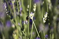Fields with rows of lavender, with an insect over a flower. bokeh. Close-up. Royalty Free Stock Images