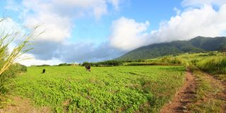 Fields of Saint Kitts Stock Photo