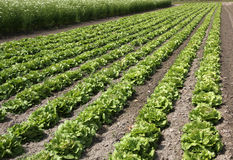 Fields of salad for commercial production Stock Photos