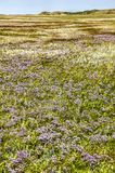 Fields of sea lavender stock image