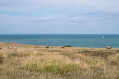 Fields with sheeps along the Opal North sea coast in France. Fields with sheeps along the North sea coast in France, on a sunny day royalty free stock photo