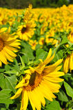 fields solrosen Royaltyfria Bilder