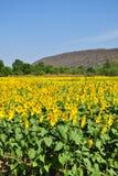 fields solrosen Royaltyfri Bild
