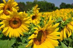 fields solrosen Arkivbilder