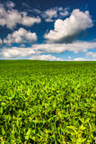 Fields of soybean, in rural Baltimore County, Maryland. Stock Photography