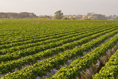 Fields of Strawberries, Carlsbad California. Fields of green leafy plants with red strawberries, agriculture within a city, fill the landscape in Carlsbad, north stock photos