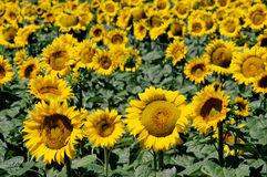 Fields of sunflowers in Tuscany Stock Images