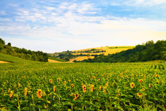 Fields with sunflowers and wheat Royalty Free Stock Images