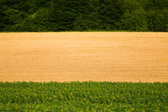 Fields - Sunflowers and Wheat Royalty Free Stock Photos