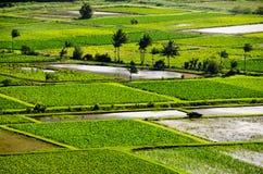 fields taroen Royaltyfria Foton