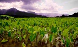 fields taroen Royaltyfri Fotografi