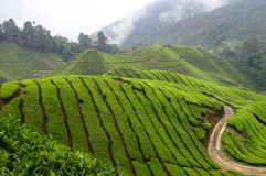 fields tea arkivbilder