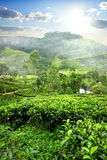 Fields of tea Royalty Free Stock Photos