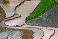 fields terrasserad rice Royaltyfria Foton