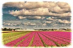 Fields of Tulipin Nethrlands Royalty Free Stock Images