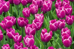 Fields of tulips Royalty Free Stock Photos