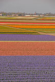 Fields of Tulips beyond a Town Royalty Free Stock Photo