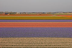 Fields of Tulips beyond a Town with small houses. Fields of colourful Tulips beyond a Town with small houses nearby Keukenhof Garden of Europe royalty free stock photos
