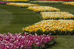 Fields of tulips Royalty Free Stock Image