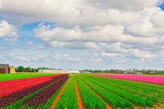 Fields of Tulips Royalty Free Stock Images