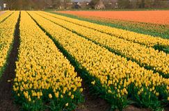 Fields of tulips and hyacinths. Royalty Free Stock Photos