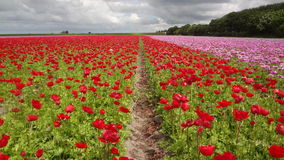Fields of Tulips in the Netherlands Stock Images