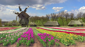 Fields of tulips in the village Royalty Free Stock Image