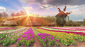 Fields of tulips in the village royalty free stock images