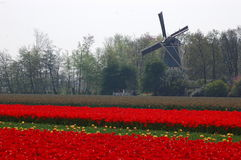Fields with tulips and the windmill in Keukenhof, Holland. Beautiful tulips in Keukenhof, Holland. Fields with colourful flowers, growing in the area close to Royalty Free Stock Photos