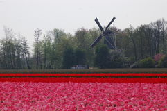 Fields with tulips and the windmill in Keukenhof, Holland. Beautiful tulips in Keukenhof, Holland. Fields with colourful flowers, growing in the area close to Royalty Free Stock Image