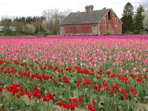 fields tulpan royaltyfri bild