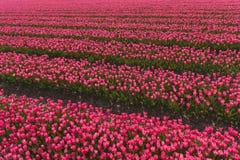 fields tulpan Royaltyfria Foton