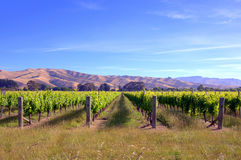 Fields with vines in New Zealand. During a gentle light Stock Photography