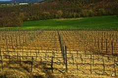 Fields vineyard  Stock Photography