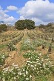 Fields of vineyards Stock Photos