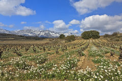Fields of vineyards Royalty Free Stock Image