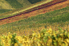 Fields with vineyards in autumn Stock Images