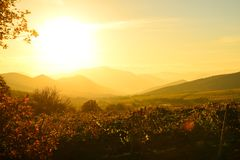 Fields of vineyards in the golden light of the setting sun. Vineyards in autumn in the golden light of the setting sun, magnificent landscape royalty free stock image