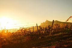 Fields of vineyards in the golden light of the setting sun. Vineyards in autumn in the golden light of the setting sun, magnificent landscape royalty free stock photography