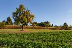 Tree on fields in autumn. Fields and vineyards at harvest time in Germany on a sunny autumn day after the century summer stock photography