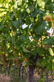 Vineyard. Fields and vineyards at harvest time in Germany on a sunny autumn day after the century summer stock images