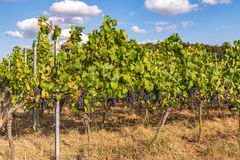 Vineyard. Fields and vineyards at harvest time in Germany on a sunny autumn day after the century summer stock photos