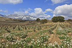 Fields of vineyards Royalty Free Stock Photography