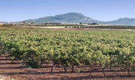 Fields of vineyards Stock Image