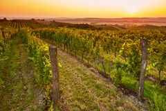 Fields with vineyards at sunset Stock Photo