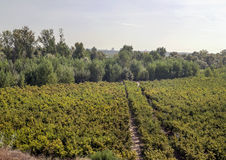 Fields with vineyards Royalty Free Stock Photo