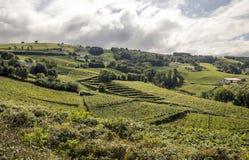 Fields of vineyards. In Zumaia, San Sebastian, Spain on a sunny day stock photos