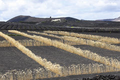 Fields on volcanic soil with golden row of corn in Lanzarote Stock Photos